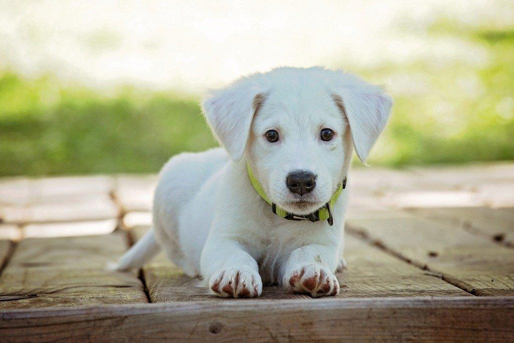 Morbo di Addison nel cane | Sintomi, razze più esposte e diagnosi